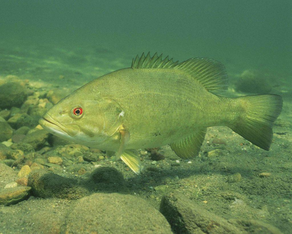 Top 5 Smallmouth Bass Summer Lures | Fishin' Wizard App